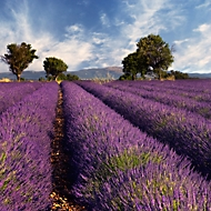 akoestisch fotopaneel, lavendel, 1500x1500 mm