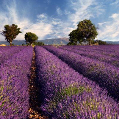 Akoestisch fotopaneel, lavendel, 1500 x 1500 mm
